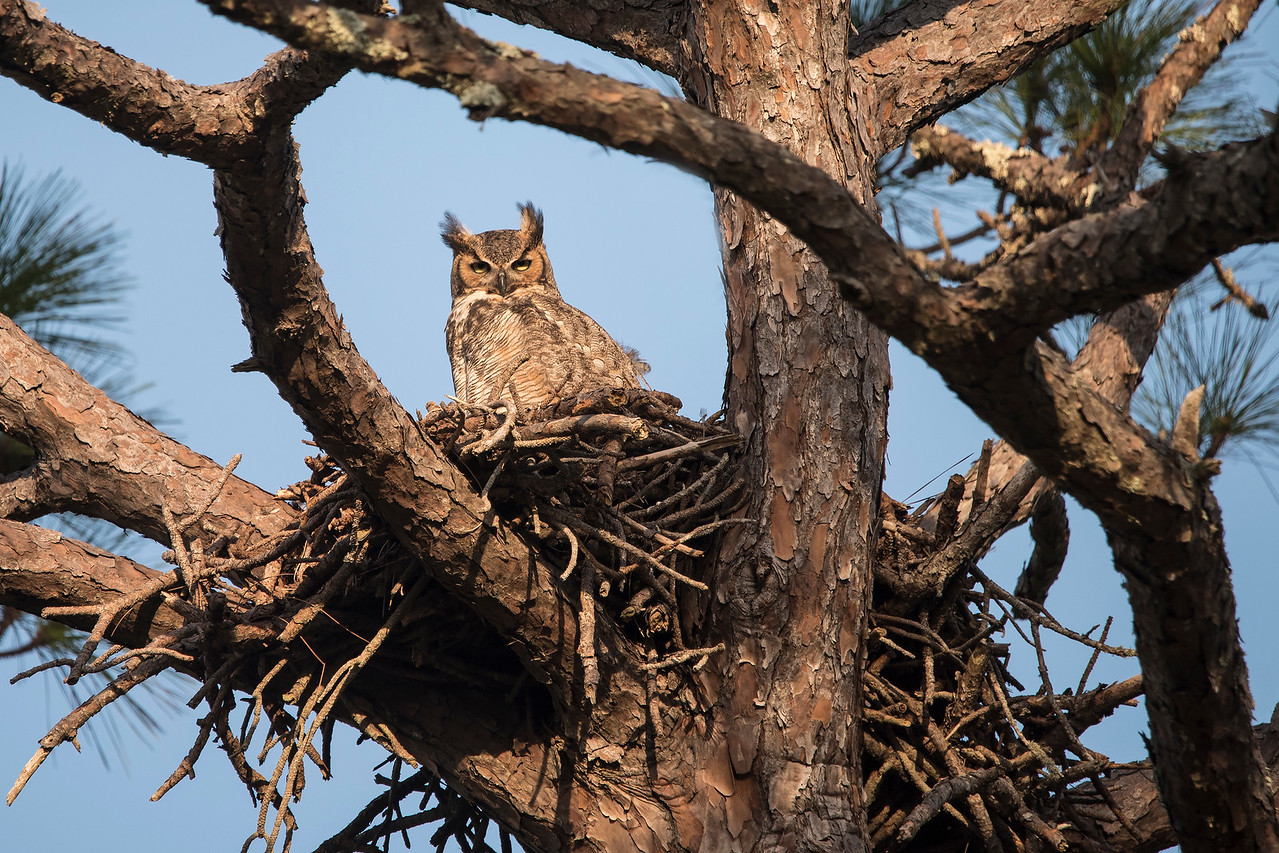 Here's a closer look at one of the adult owls sitting on the nest.  Owls don't build their own nests; they take over an abandoned nest built by another bird.  This one looks big enough to have been built by an eagle.  I was surprised that the owl would use a nest right next to the main street through this area.  I guess there's not enough traffic to be a problem.