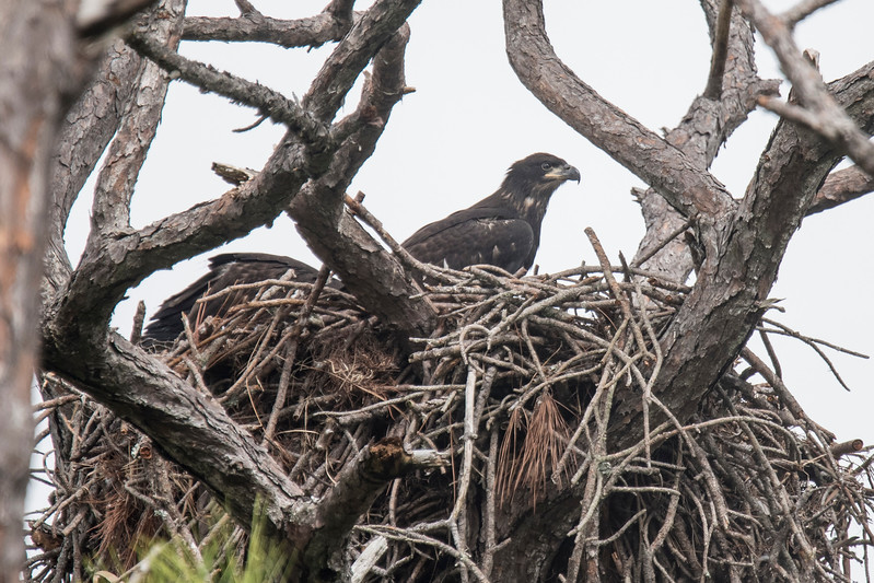 I had my answer three weeks later when this photo was taken.  Not only were the eggs in the last photo already hatched but the chicks must have been well along in their development.  Here they are almost fully grown and ready to fledge.   The second juvenile eagle is just visible on the left side of the nest.