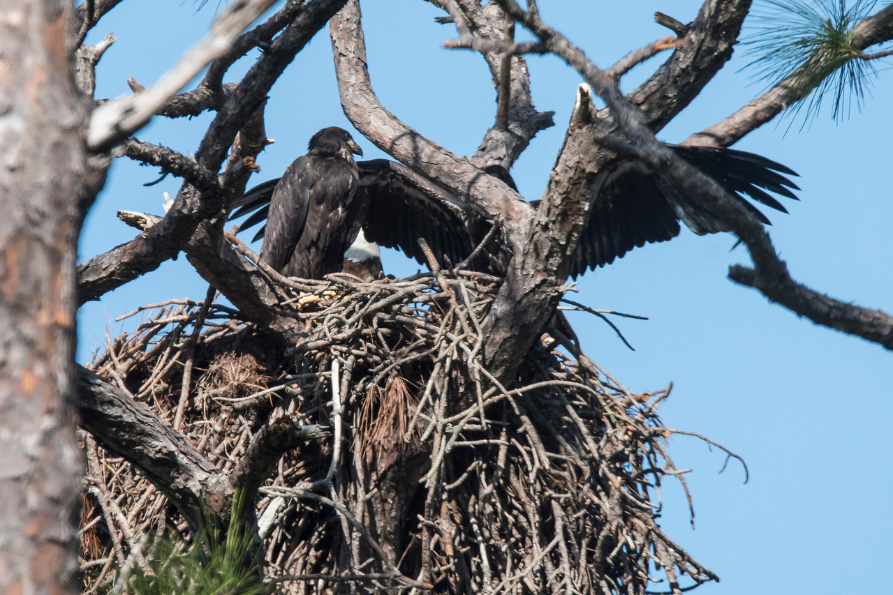 One of the juveniles is stretching its wings.  Bald Eagles have a wing span of 7½ feet.  If this bird had been in the center of the nest, it looks like its wings would go from one edge of the nest to the other.  That gives you a rough estimate of the size of the nest.