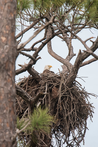 This Bald Eagle nest is less than two blocks away from the owl nest.  This photo was taken at the end of January.  I know that eagles in Florida lay eggs earlier than those back home in Minnesota.  However, it wasn't obvious if the eggs had hatched yet.
