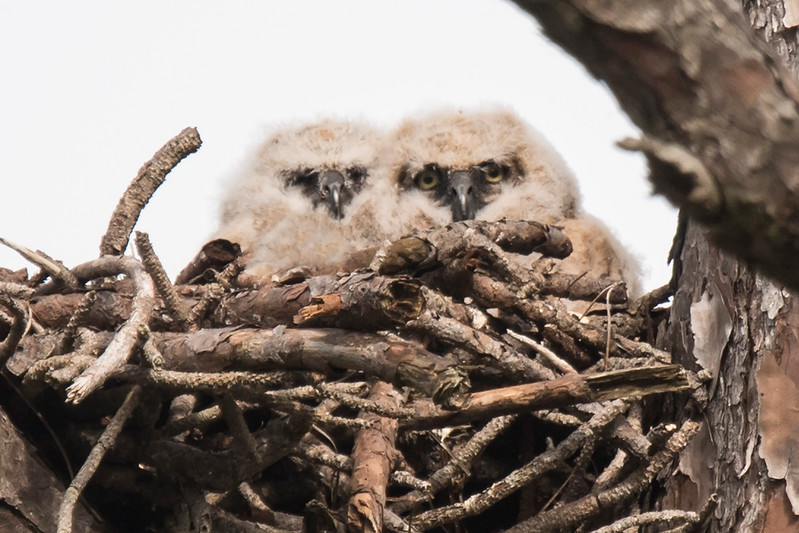 I finally got a photo of the two juvenile owls together.