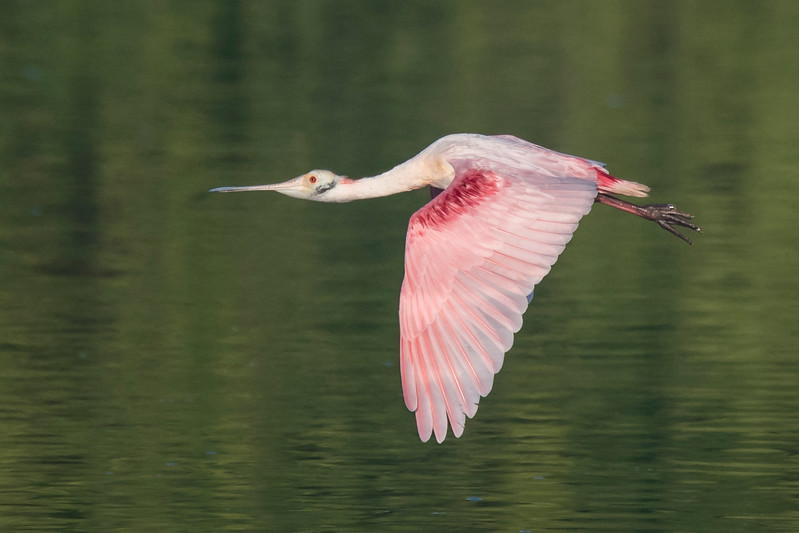 Here's my favorite Roseate Spoonbill photo from the trip