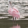This is a juvenile Roseate Spoonbill, possibly in its second year.  The red streak on its wing is just beginning to show and its head is only partially bare.  Spoonbills are large (30 to 40 inches) wading birds.  In the United States, they are found along the Gulf Coast from Texas to Florida.