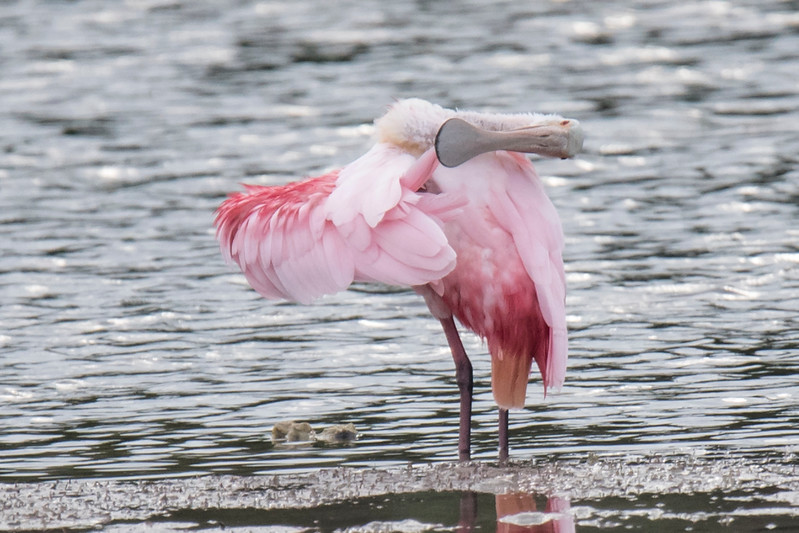 Here's a good look at the distinctively-shaped bill.  To feed, the spoonbill holds it in a slightly open position and swishes it back and forth in shallow muddy water.  The bill is very sensitive and when it contacts something that might be edible, it snaps shut.  In this photo, the bird is preening the tip of one wing.  To do that with such a long bill, it must stretch its neck to one side and extend the wing out to the other side so it can reach.