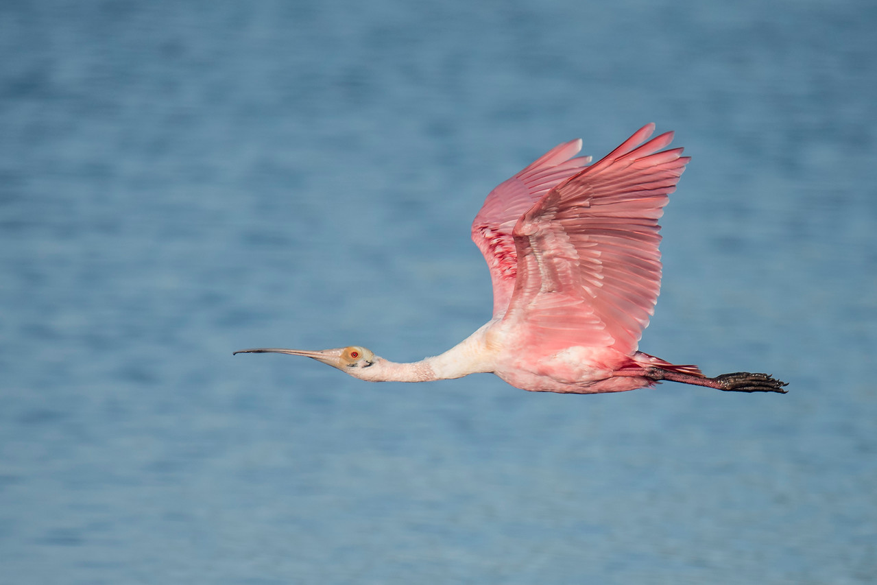 My reward for getting there early and waiting patiently was some very nice flight shots as the spoonbills went off to feed.  In this photo, the background is the blue water of the bay.
