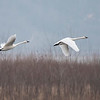 Tundra Swans are spectacular in flight, with a wing span of 6 to 7 feet.