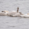 This is another family of swans with two adults and three juveniles.  When sleeping, they rest their necks on their backs and tuck their bills under their wings.  Notice that one of them stays alert to watch for danger.