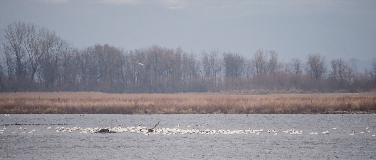 Early last December I visited Brownsville, MN, to see the annual gathering of Tundra Swans on the Mississippi River.  This is a major stopover area as they head for their wintering grounds along the East Coast.  Migration was late this year so not many swans were there yet.  Normally, this area would be covered with swans.