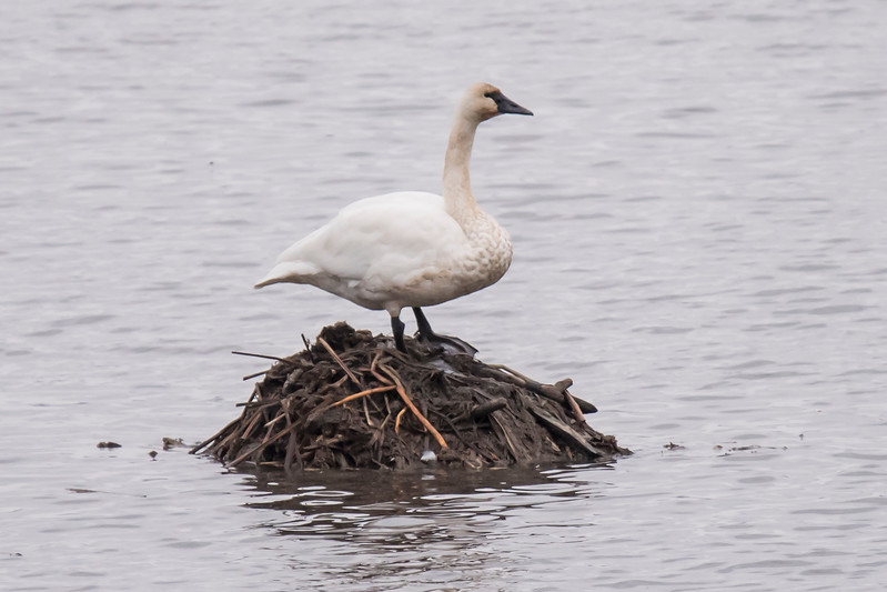 This swan is standing on a Muskrat house.