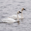 Tundra Swans are the most numerous and widespread swans in North America.  They are large birds, 47 to 58 inches long.  They nest high on the Arctic Tundra.  A mated pair of Tundra Swans will stay together for life.