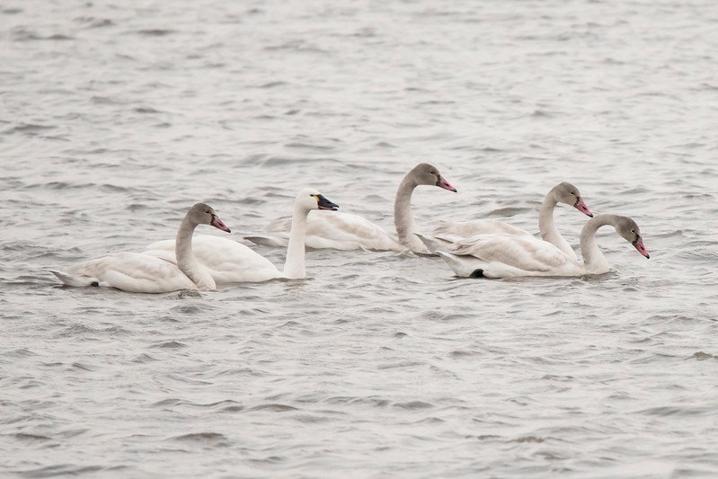 Here's a family of swans.  The adult is the all-white bird and the four other birds with gray heads and necks and pink bills are the juveniles.