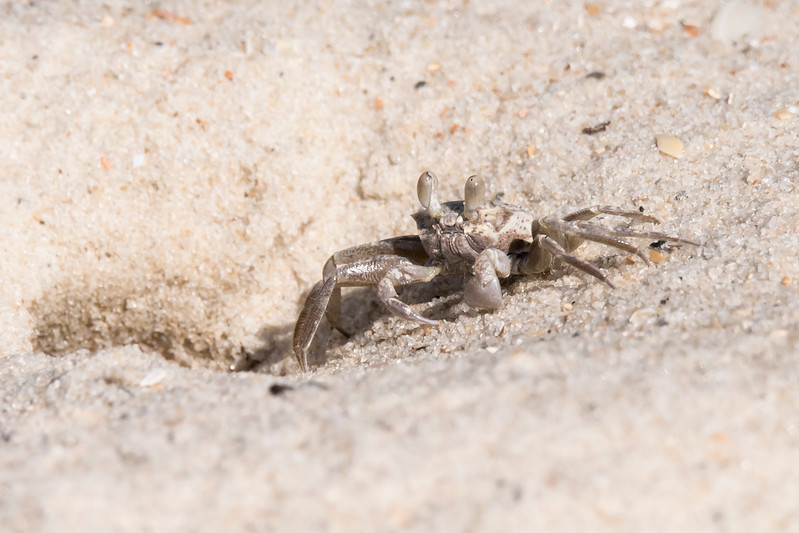 One day as I was walking on the beach, I saw Ghost Crabs scurrying along the sand dunes.  As I approached them, they dove down their holes in the sand.  I finally got close enough to this one for a decent photo.  But notice the crab is right next to its hole, ready to disappear.  The shell of the crab is only 1½ to 2 inches across.