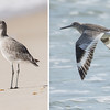 Willets are common on the beaches here in the winter.  They are quite bland looking when standing or walking on the beach.  The intricate pattern of their wing feather only shows when they fly.