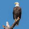 Minnesota has the most nesting pairs of Bald Eagles in the lower 48 states but Florida is right behind.  Eagles can begin nesting earlier in Florida than they can in Minnesota.  I wouldn't be surprised to soon see baby eagles in nests around here.