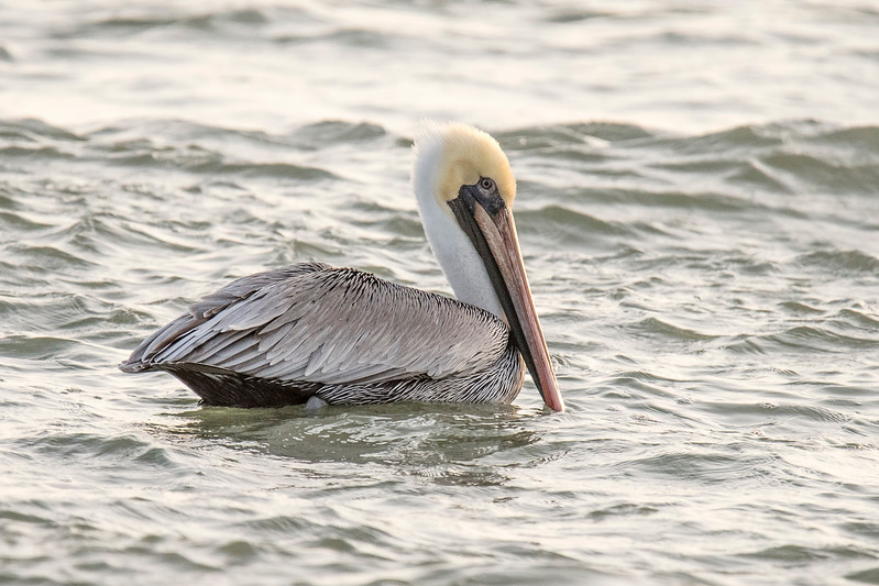 Diana and I are again staying on St. George Island located in the panhandle of Florida.   We will be here for all of January and February.  It's nice to get back here and see some of the familiar birds that we don't see in Minnesota, like this Brown Pelican.  The gray body and wing feathers, white neck, and yellow head indicate this is an adult pelican.  A juvenile would be mostly brown.