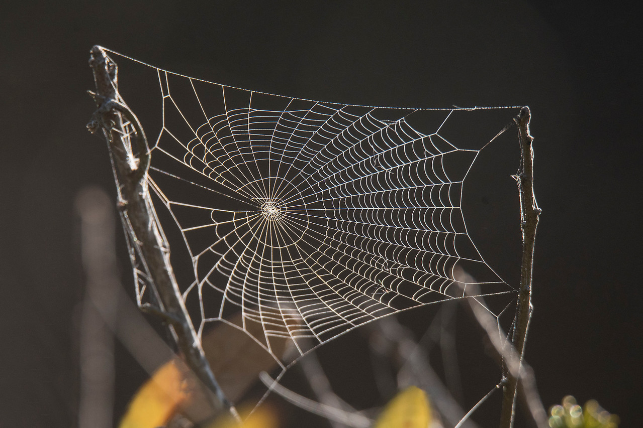 Here are a few non-bird photos that I took during January and February while we were in Florida.  When the humidity is high during the night, water droplets accumulate on spider webs.  The next morning, before the water droplets evaporate, the webs are quite visible and you realize there are lots of them around.  This web was photographed right outside the house that we rented.  It reveals the beauty and intricacy of the spider's work.