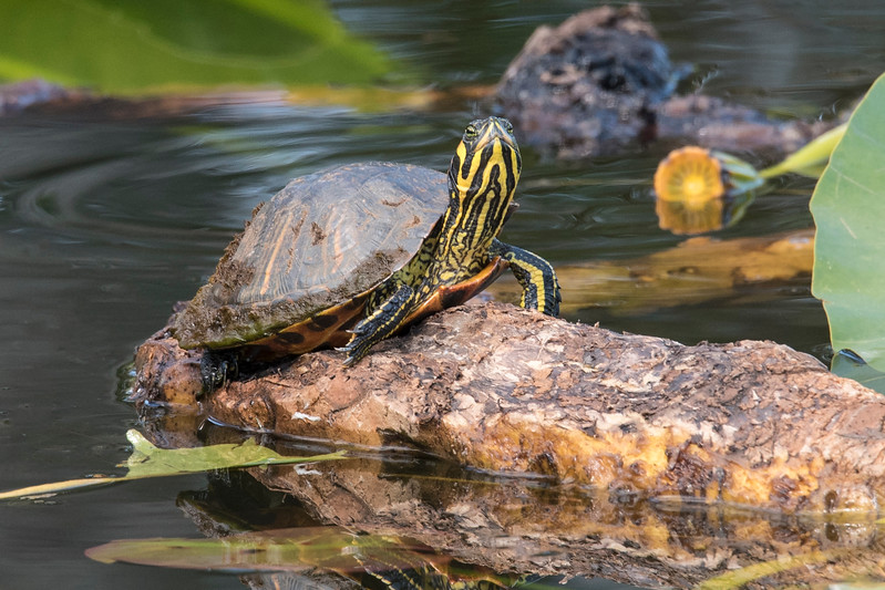 The Chapman Botanical Gardens are located in Apalachicola, Florida.  At the entrance to the gardens, there is a small pond full of Yellow Water Lilies.  This turtle, a Suwanee Cooter, was sunning itself among the lilies.