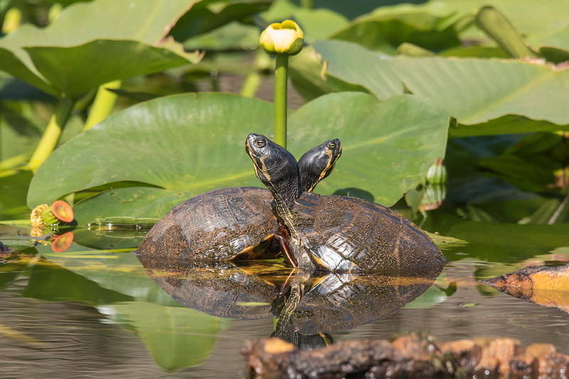 I couldn't pass up this image showing two Suwanee Cooters apparently providing support for each other while they napped.