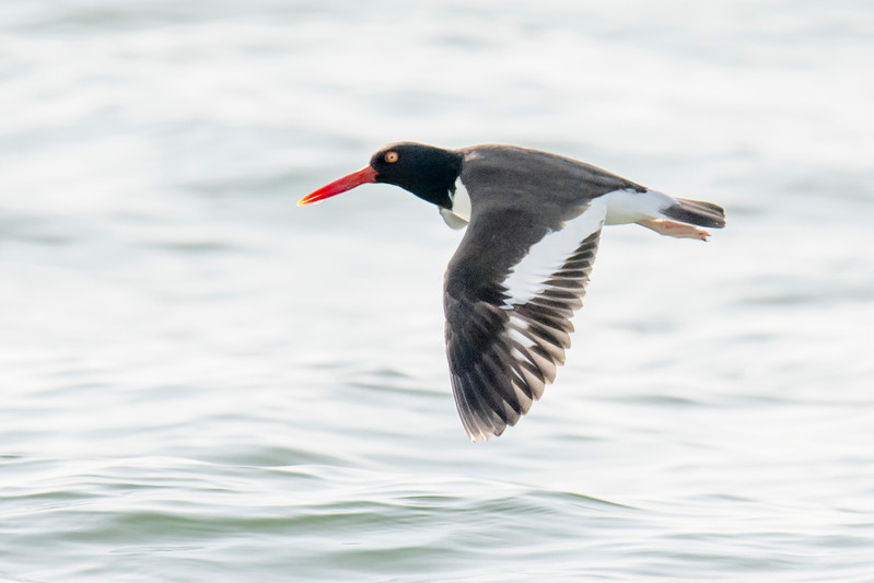 Here's another set of photos I took during our January - February stay in Florida.  St. George Island State Park is a reliable place to see American Oystercatchers.  This one flew by as I was walking along the beach one day.