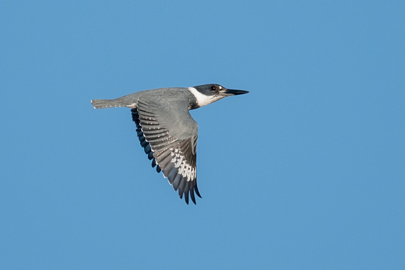 Another hard-to-photograph species is the Belted Kingfisher.  They seem to have a particularly strong aversion to being anywhere near a human.  When I was at the Franklin County Seafood Landing Park in Apalachicola, Florida, I was fortunate to have this one fly by close enough to get a decent flight shot.