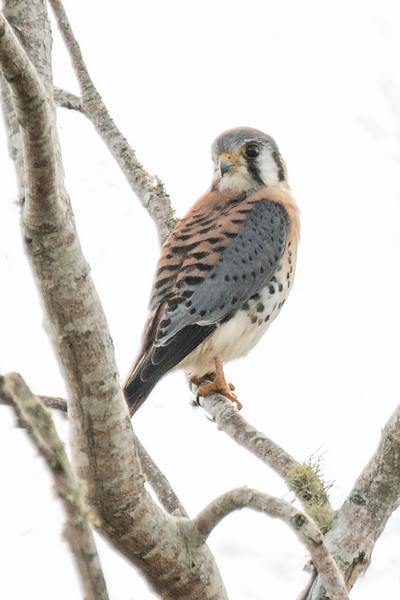American Kestrels are easily spooked.  I'm always pleased when I can get close enough for a good photo.  This was taken at the Chapman Botanical Gardens in Apalachicola, Florida.