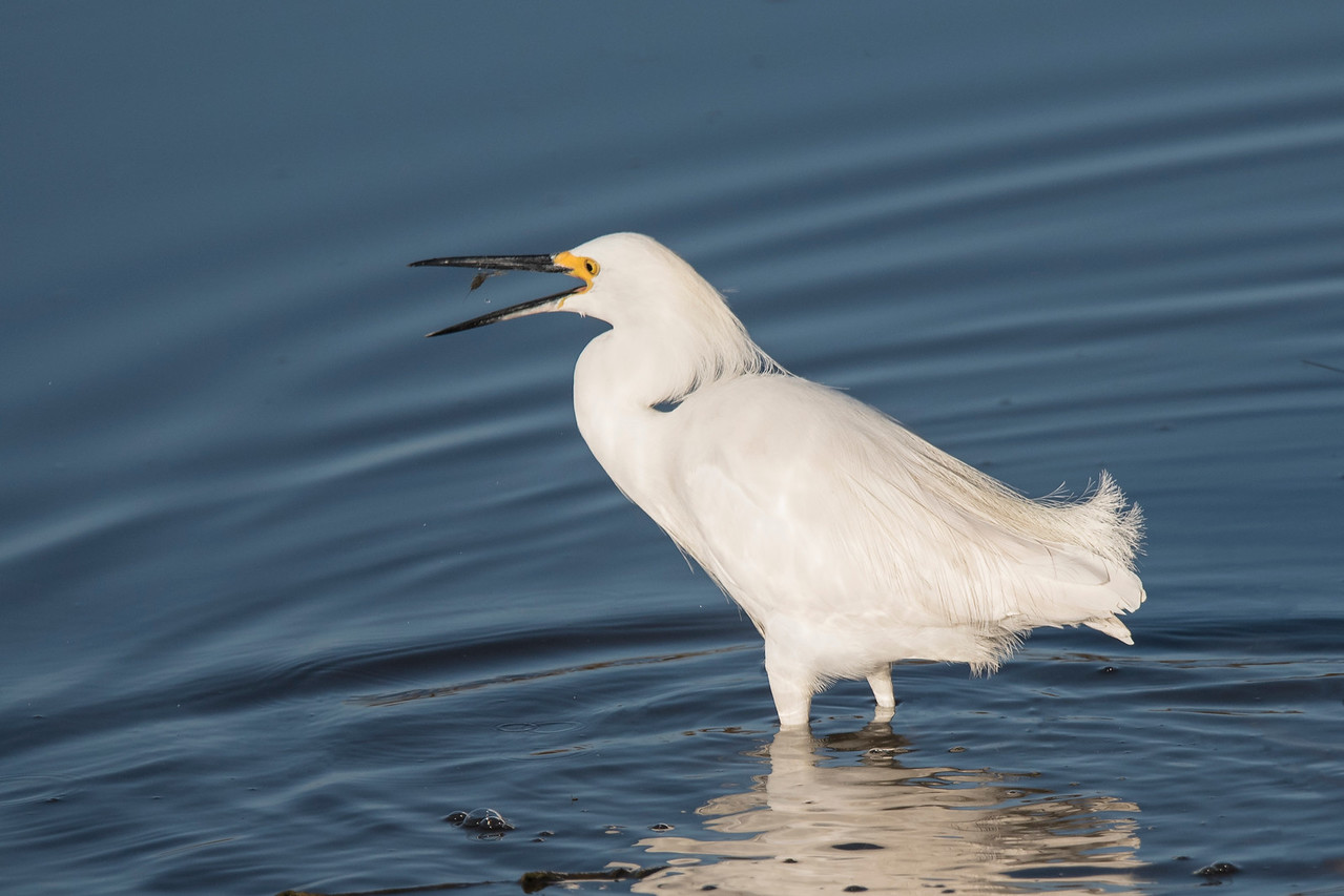 The Snowy Egret was successful at catching a number of small prey species.  This photo shows one of the items being tossed into its mouth.