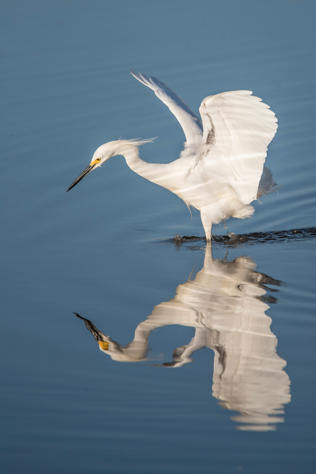 From that same viewing platform, I was able to watch this Snowy Egret hunt for its breakfast.