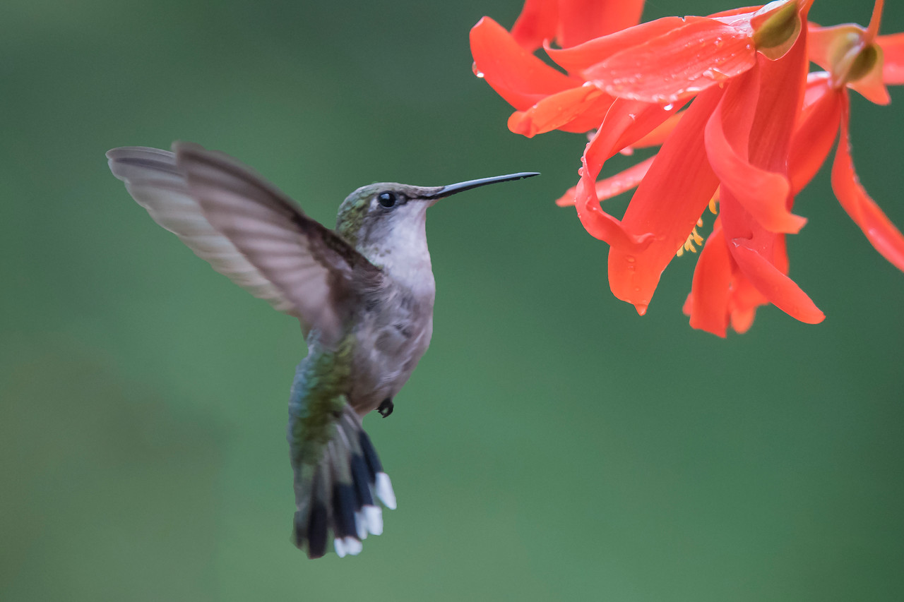 Summer is passing quickly in Minnesota; here are some photos from our warmest season.  By positioning a small hummingbird feeder near a hanging pot of red flowers, I lured this Ruby-throated Hummingbird close to the flowers.  Because adult females, and both male and female juveniles, look like this bird, we can't be sure which one it is.  We can say for sure that that it isn't an adult male, because it doesn't have a red throat.  Hummingbirds have very tiny feet and you can see them on the front of the bird just above the tail.