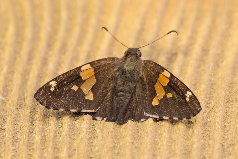 This small butterfly, with a wingspan of just over 2 inches, landed on our deck.  I recognized it as a Silver-spotted Skipper.  Skippers are a subset of butterflies that have spoon-shaped ends to their antenna.
