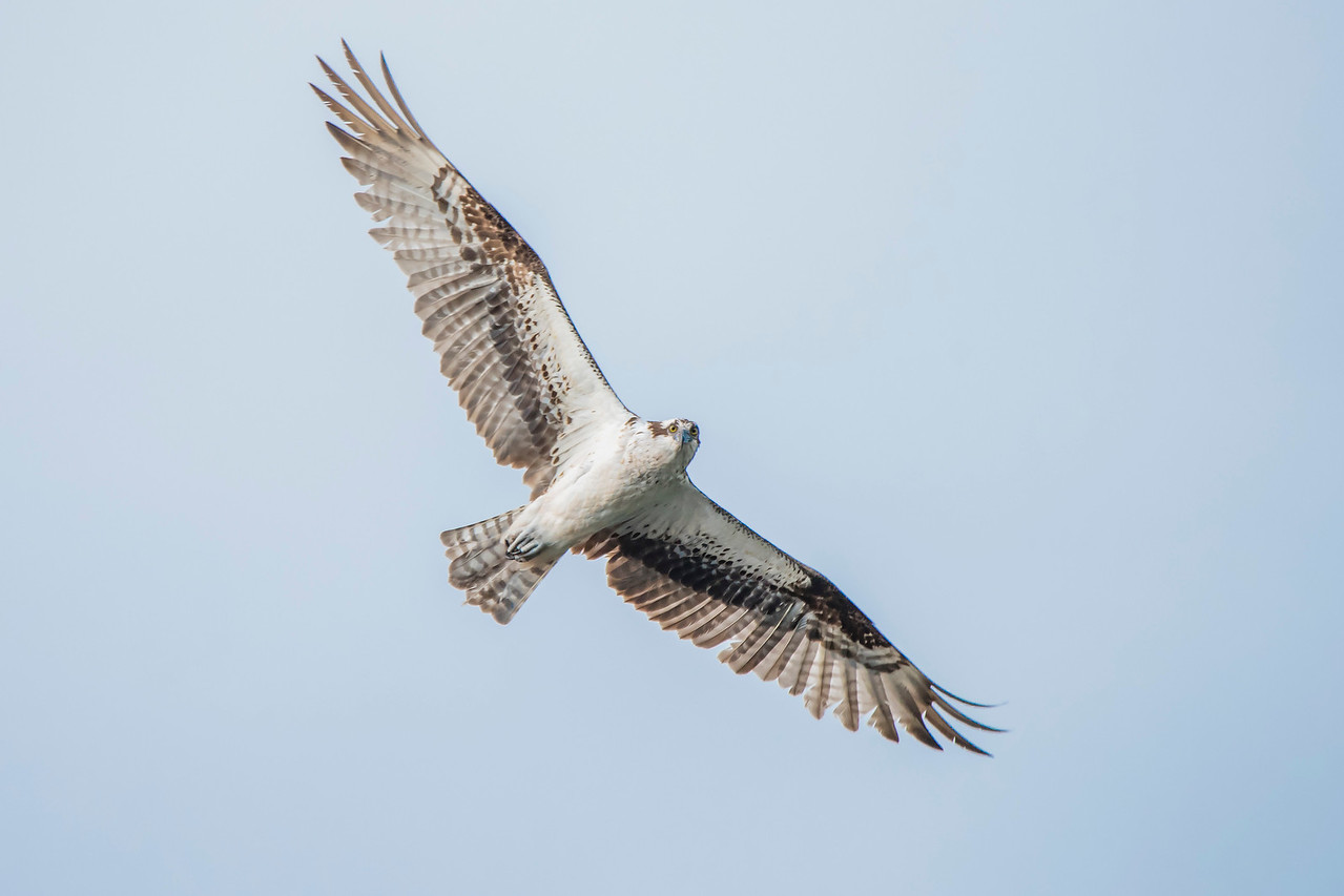 Diana and I were taking a boat ride around the lake when this Osprey flew over and really checked us out.