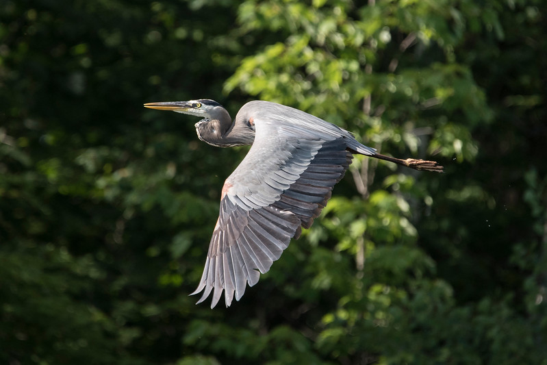 When we take a boat ride around our lake, we often see Great Blue Herons feeding along the shore.  Fortunately, the light was coming from the right direction when this one flew by us.