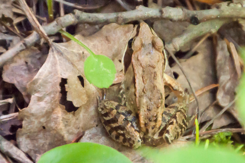 I was walking through our woods when I noticed some movement in the grass.  I investigated, and, as a result, got my first photo of a Wood Frog.  The dark brown mask is an identifying feature of this amphibian.  Notice how well it blends in with the dead leaves around it.