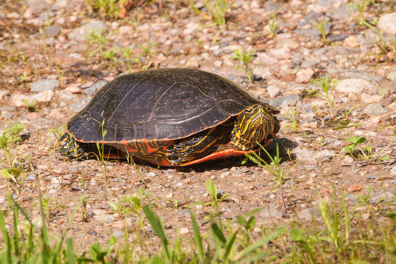 We often see Painted Turtles basking in the sun along the edge of the lake.  This one came out of the water and was exploring our driveway as a place to lay its eggs.  It started to dig a hole but our driveway apparently wasn't acceptable to this turtle.  It left without finishing the hole.