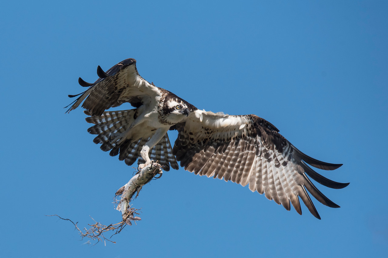 I watched the nest for a while and saw the Osprey pair coming and going.  Finally, one of them flew in with a fish.