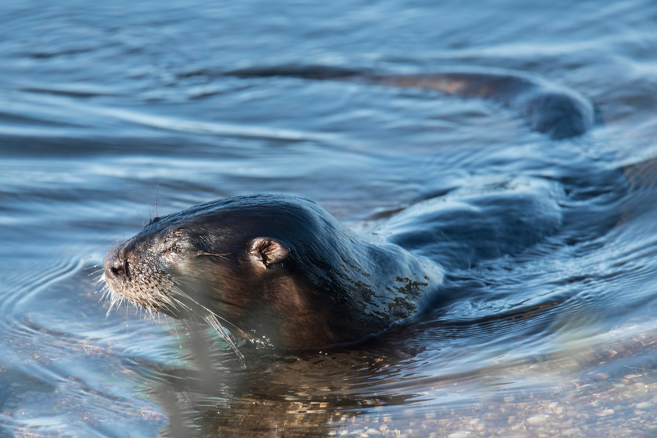 During my time at the Ding Darling Wildlife Drive, a River Otter swam right past us and was very close to the road.