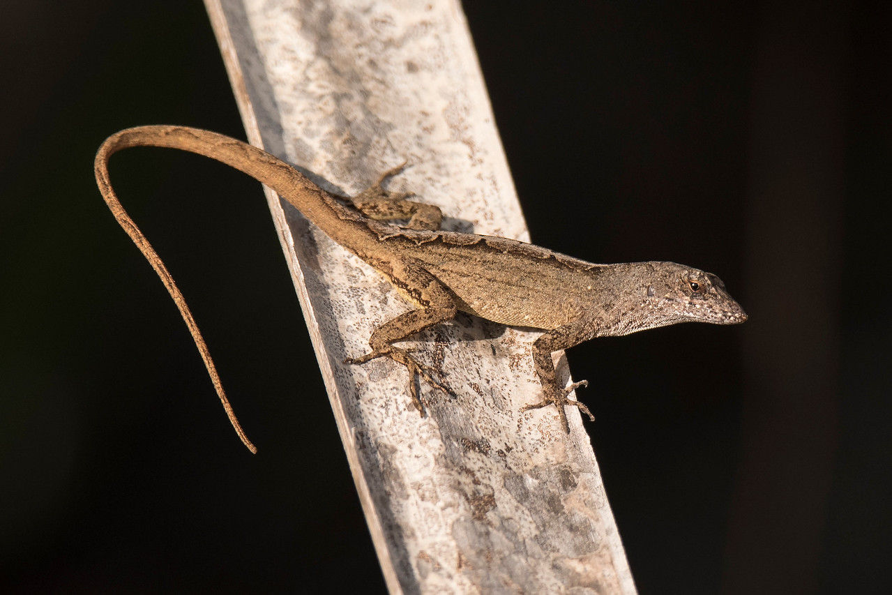 This Brown Anole was photographed at the Bailey Tract.  It is a native of Cuba and the Bahamas and has been introduced into the southeastern United States.  It is highly invasive and regularly outcompetes native lizards.  With its tail stretched out, it is 7 to 8 inches long.