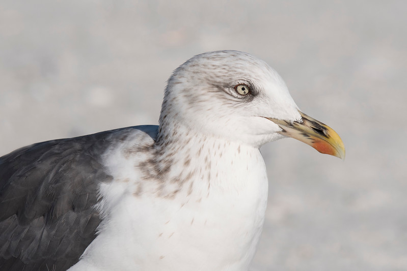 Here are a few more photos taken during our trip to Sanibel Island, Florida, in January.  This is a close-up shot of a Lesser Black-backed Gull.  It's not a rare species in Florida but it is uncommon.  It's aptly named because there are definitely black feathers on its back unlike the gray feathers found on our more common gull species.  During the breeding season those brown streaks will disappear and its head and neck will be pure white. The red spot on its bill is typical of an adult bird but the black streaks give the bill a very colorful look.  An immature bird does have a black bill so this one is probably still transitioning from a juvenile to an adult.