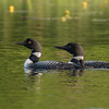 We have a pair of Common Loons on our lake.  They built their nest on a floating platform that we put out for them.  One morning I was out on the lake and noticed there was no loon sitting on the nest.  A look around the lake revealed both parents and a baby.