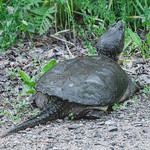It must be time for Snapping Turtles to lay their eggs.  I?ve seen several of them lately and this one was on the road leading to our home.  I didn?t realize how big a Snapping Turtle? ...