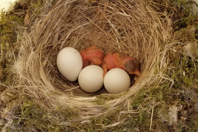 This photo was taken June 3 after two of the eggs had hatched.  We'll call this Day 1.  We can assume the other three hatched the same day because phoebes don't start sitting on the eggs (incubating them) until all the eggs are laid.