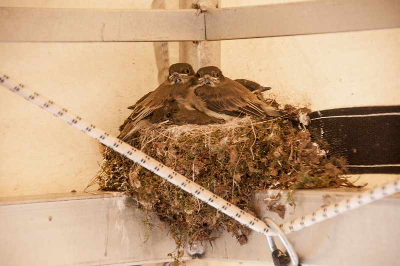 On June 19 (Day 17), they are looking fully feathered and almost like adult birds.