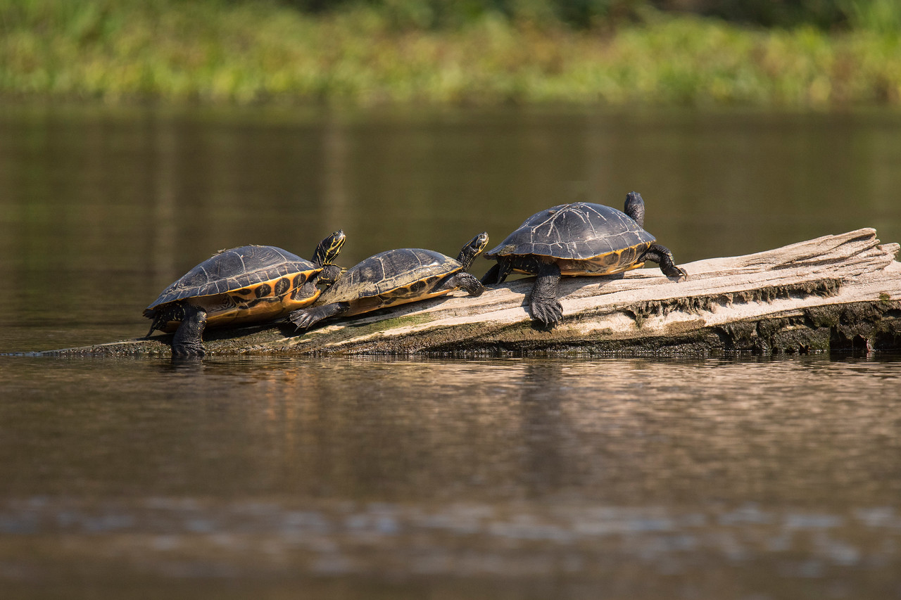 Suwannee Cooters are a common turtle species at Wakulla.  These three Cooters were sunning themselves on a log.