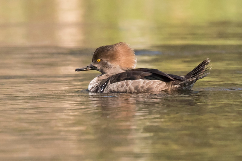 I heard from my Florida birding friends that the number of ducks wintering there was very low this year.  That was certainly true when I visited Wakulla.  I did see a few Hooded Mergansers; this is a female.