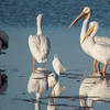 I'm only including this photo to emphasize how large these birds are.  In the center of the photo there are two Snowy Egrets and they are totally dwarfed by the pelicans standing behind them.  The pelican in the upper right has the start of a growth on the top of its beak.  This becomes a large knob during breeding season.  The purpose of this knob is not known but it is probably involved in attracting a mate.