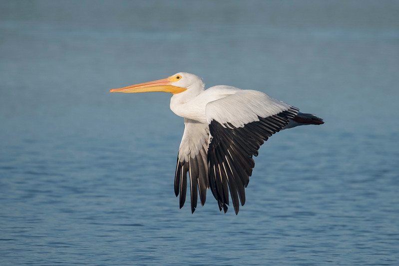 I saw lots of American White Pelicans when we visited Sanibel Island, Florida, in January.  Their white bodies and black wing feathers make then instantly recognizable.  Their long, pink beak has an expandable yellow pouch under the lower mandible.  That comes in handy when they scoop fish out of the water.  All these photos were taken at Ding Darling National Wildlife Refuge.