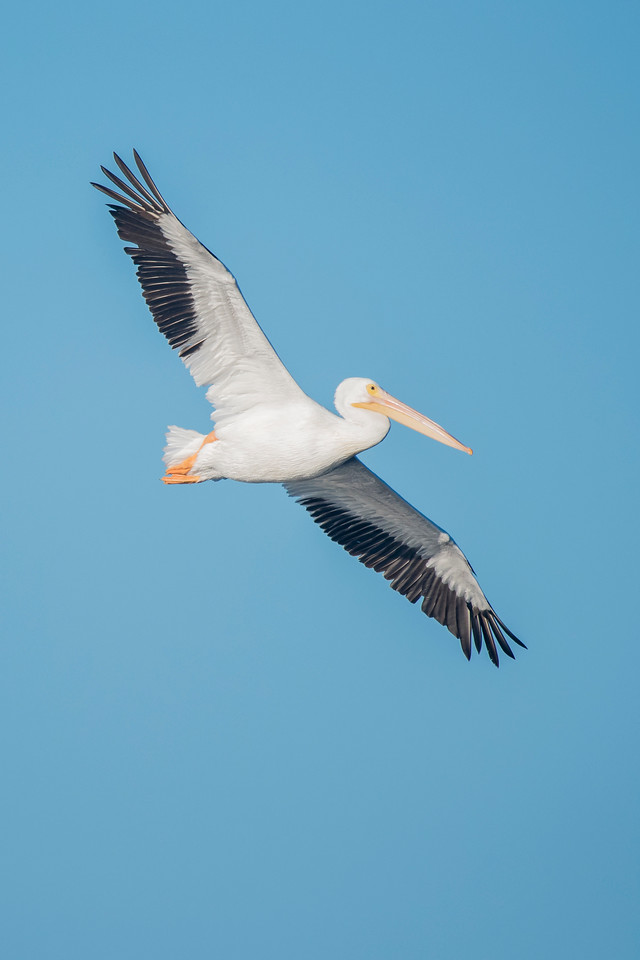 White Pelicans are one of our largest birds.  They have a 9-foot wingspan!  When you see them flying overhead, they are truly impressive.