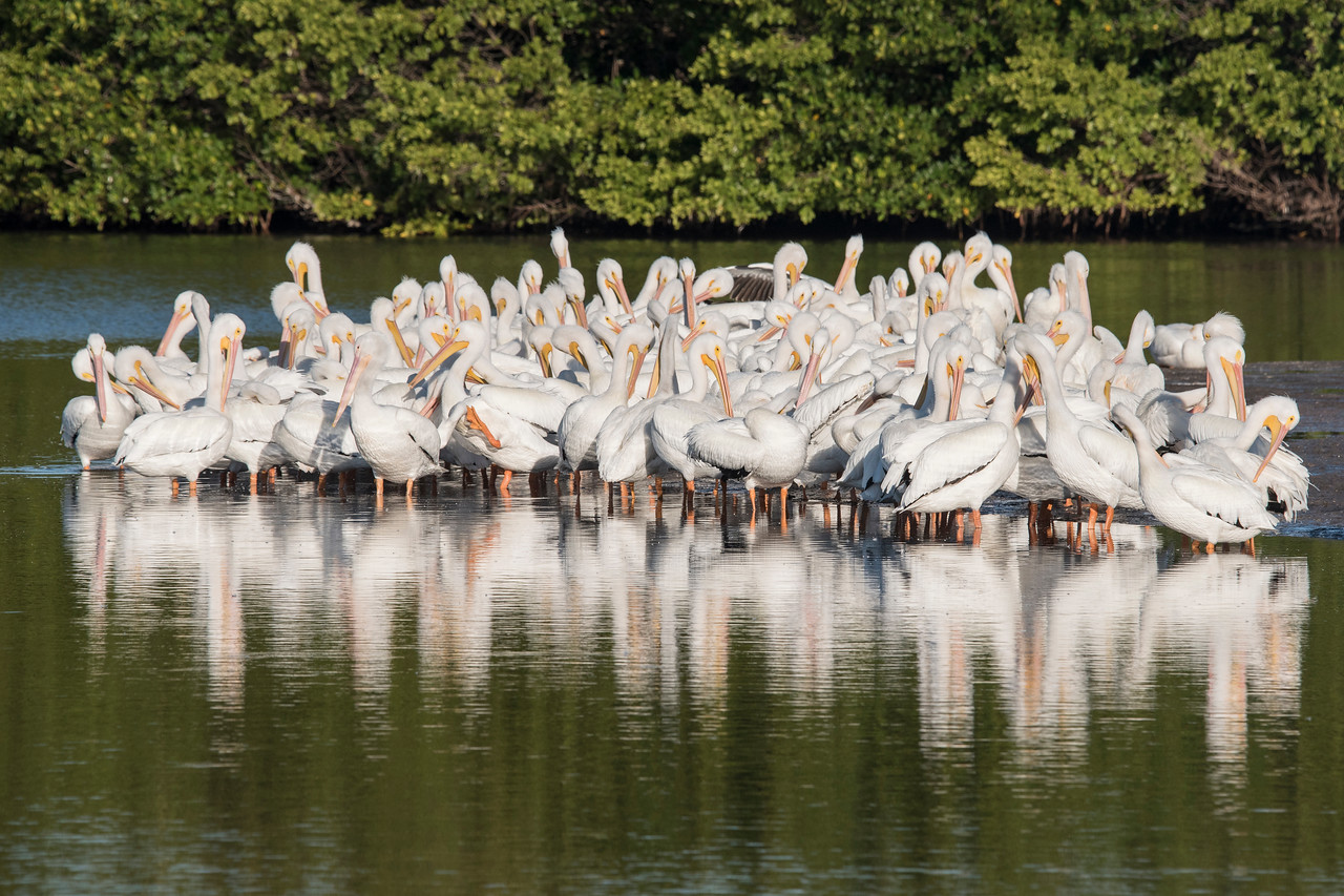 This sand bar was a favorite gathering spot for a large group of White Pelicans.  Each morning I saw them here resting and preening.
