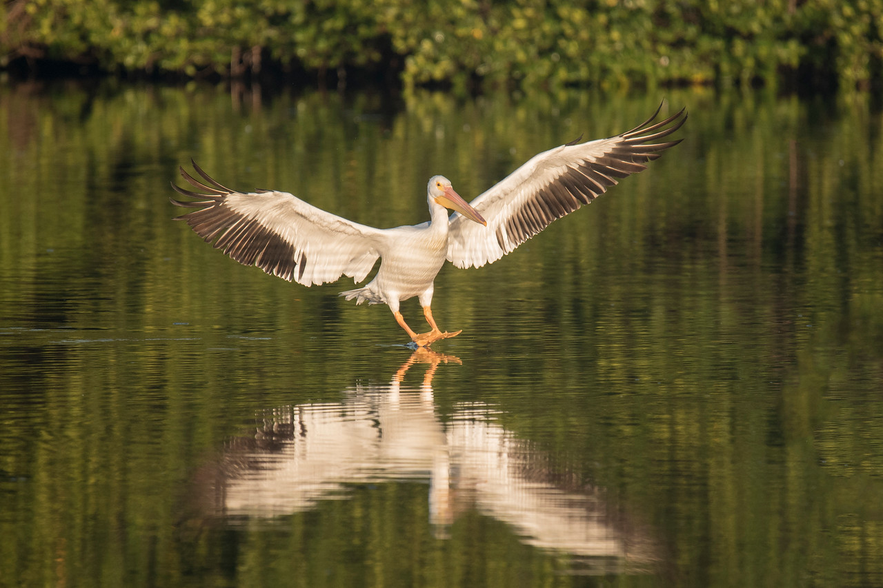 As more pelicans flew in to join the group I was able to get some nice shots of them landing.  This photo was taken at the precise moment this bird's feet touched the water.  The brown bars on its chest and belly are reflections from the water.