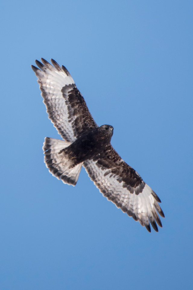 Rough-legged Hawks are a winter visitor to the area and we saw several of them soaring over the bog.