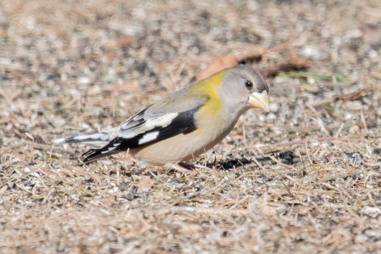 Here's a female Evening Grosbeak, also seen at Mary Lou's feeders.  As is true of many female birds, her plumage is much more subtle than the male's.  Notice how well she blends in with the grass.  Grosbeaks, with their large and sturdy beaks, are aptly named.